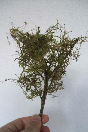 Des arbres en miniature - Mousse sur les arbres ...